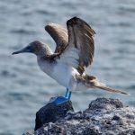 Blaufußtölpel auf den Galapagos Inseln - Celebrity Xperience