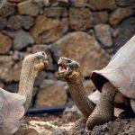 Galapagos Schildkröten