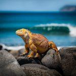Leguan auf den Galapagos Inseln