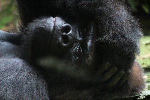 Beobachten Sie Gorillas im Loro Parque